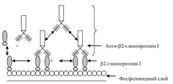 Рисунок 4: Механизм связывания анти-β2-гликопротеин I с фосфолипидным слоем.
