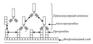 Рисунок 6: Антитела к протромбину образовывают с протромбином тримолекулярный комплекс на фосфолипидной мембранной поверхности.